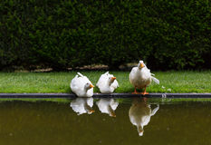 Three ducks reflected on water Royalty Free Stock Images