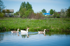 Three ducks in the river. Near to the village Stock Photo