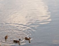 Three ducks on a river. Three mallard ducks swimming in the Allegheny River In Warren County, Pennsylvania, USA with room in the picture for added textn Royalty Free Stock Photography