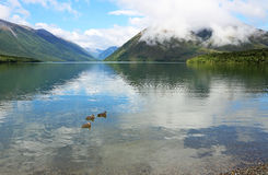 Three ducks on Rotoiti Lake Royalty Free Stock Image