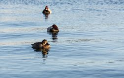 Three ducks in a row. In one of the Copenhagen Lakes. In Copenhagen there is three major lakes where ducks and swans swim around and have a good time Royalty Free Stock Images
