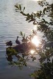 Three ducks in a row stock photos