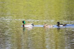Three Ducks In A Row. A male mallard, female mallard, and male wood duck swim in a row Stock Images