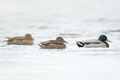 Three ducks in a row. Three mallard ducks Anas platyrhynchos, swimming on the water surface in winter season Royalty Free Stock Images