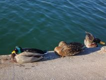 Three ducks on the side of a lake Stock Photos