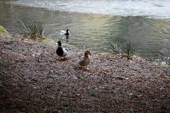 Three ducks in spring royalty free stock photo
