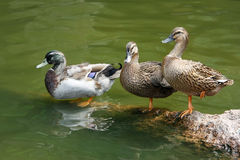 Three ducks standing on a stone by the water. Three wild ducks standing on a stone by the water, close-up view Royalty Free Stock Photos