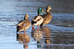 Three Ducks Strolling on a Frozen Lake in Winter Stock Images