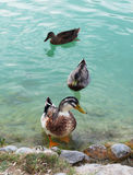 Three ducks. Float on the clear turquoise water of pond (Pamukkale, Turkеy Royalty Free Stock Photography