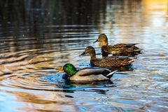 Three ducks swim in a lake in South park, Sofia. One drake duck and two female mallard ducks swim in a lake in South park, Sofia, Bulgaria in the golden hour Royalty Free Stock Photography
