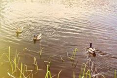 Three ducks swim on the river. Stock Image