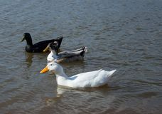 Three ducks wadding on a lake Stock Photos