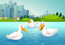 Three ducks swimming in the lake Royalty Free Stock Photos