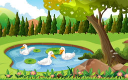 Three ducks swimming in the pond. Illustration Stock Photo