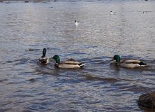 Three ducks are swimming in the sea water stock photos