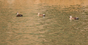 Three ducks swimming together Royalty Free Stock Images