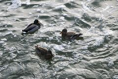Three ducks swimming in water royalty free stock photography