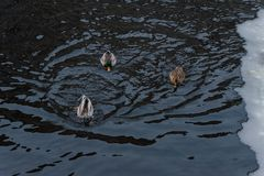 Three ducks in winter water with ice royalty free stock images