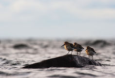 Three dunlins Royalty Free Stock Images