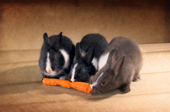 Three  Dutch rabbit dwarf eat carrots on  the floor Royalty Free Stock Images