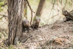 Three dwarf mongoose in the Kruger National Park. Royalty Free Stock Images