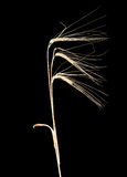 Three ears of barley on a dark background Royalty Free Stock Images