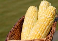 Three ears of corn on the cob Royalty Free Stock Photos