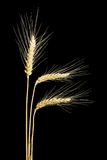 Three ears of wheat on a dark background Royalty Free Stock Photography
