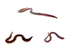 Three earthworms isolated on white Stock Photos