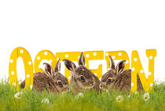 Three Easter bunnies sitting in meadow with wooden letters (Oste Royalty Free Stock Images