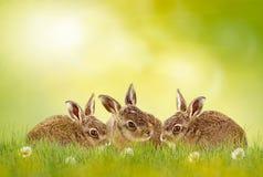 Three easter bunny Royalty Free Stock Photo