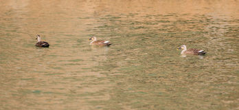 Three Eastern Spot-billed ducks swimming alone Stock Images