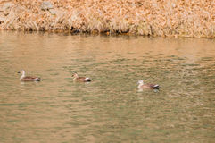 Three Eastern Spot-billed ducks swimming alone Stock Photography