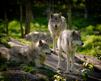 Three Eastern Timber Wolves Pack. A small pack of three Eastern timber wolves gather on a rocky slope in the North American wilderness Royalty Free Stock Image