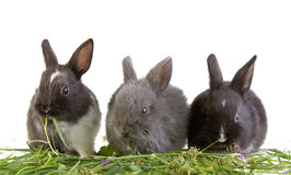 Three eating bunny Royalty Free Stock Image