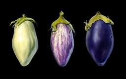 Three eggplants on black background watercolor illustration. Three cultivars of eggplant isolated on black background watercolor illustration Royalty Free Stock Images