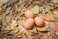 Three eggs on dry leaves Stock Photography