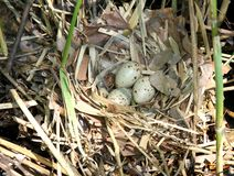 Three eggs in a nest of a rare acquitico bird 1 Royalty Free Stock Photography