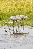 Three Egrets in a billabong. Royalty Free Stock Photo