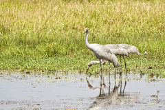 Three Egrets in a billabong. Royalty Free Stock Photos