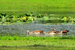 Three Egyptian geese Royalty Free Stock Image