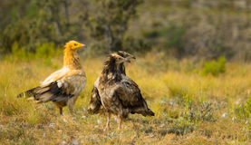 Three Egyptian Vultures looking Stock Photos