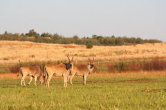 Three Eland Antelope. In nature reserve Royalty Free Stock Photo