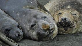 Three Elaphant Seals Stock Images