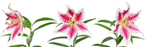Three elegant spotted pink lily flowers Stock Photo