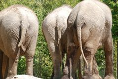 Three elephant bottoms Stock Photography