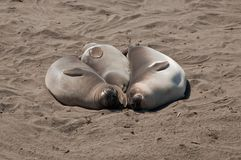 Three elephant seals Royalty Free Stock Photo