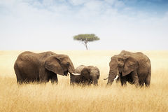 Three elephant in tall grass in Africa Stock Images