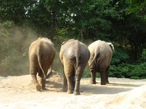 Three Elephants. Description: Three elephants, side by side, walking away with their rears facing the camera. Ground is sand, background is deep green foliage Stock Image