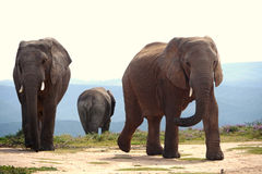 Three elephants. In addo elephant park, south africa Royalty Free Stock Photography